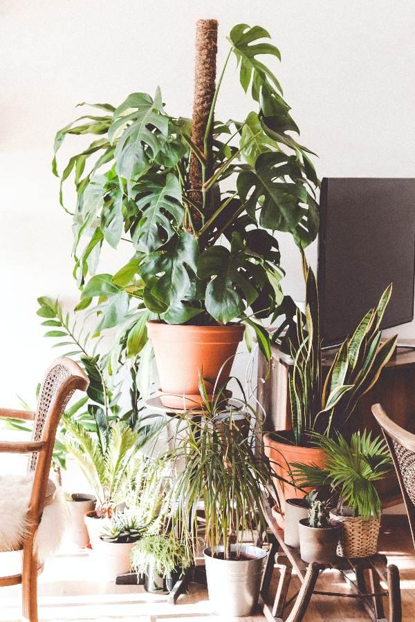 monstera-sobna-rastlina