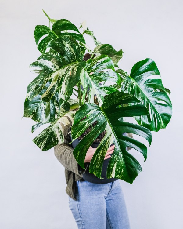 odrasla-monstera-deliciosa-variegata