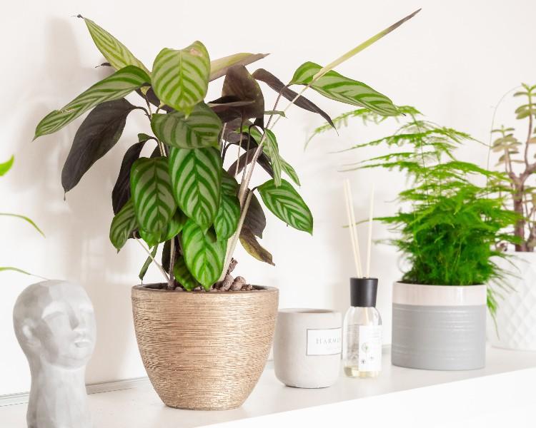 sobna-rastlina-kalateja